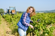 cheerful young woman harvesting grapes in vineyard during wine harvest season in autumn